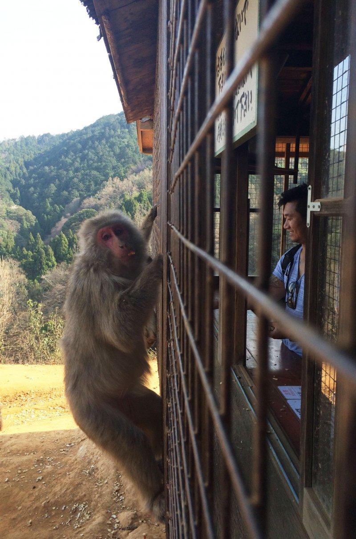 Ve dentro de una area enjaulada para alimentar a los monos en Monkey Park Iwatayama.
