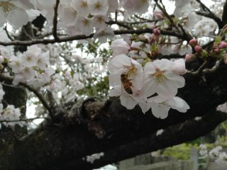 Beautiful cherry blossoms in the seventh temple