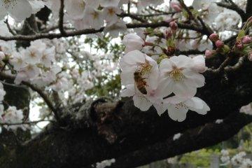일곱번째 절의 아름다운 벚꽃
