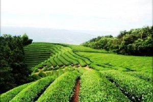 Wazuka Tea Farm in the hills behind Uji in Kyoto Prefecture
