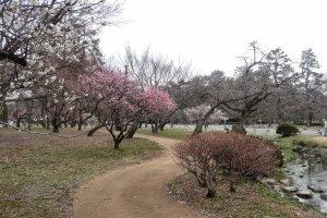 สวนพลัมของพระราชวังเกียวโต อิมพีเรียล มีต้นพลัมทั้งหมด 250 ต้น 35 สายพันธ์