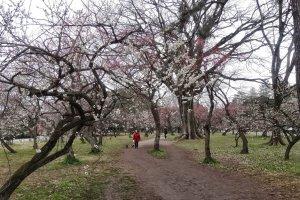 สวนพลัมของพระราชวังเกียวโต อิมพีเรียลในตอนแปดโมงเช้า ผู้คนบางตา มีแต่ตากล้องและชาวบ้านเอาหมามาเดินเล่นไม่กี่คน ทำให้ได้ใช้เวลาดื่มด่ำกับดอกพลัมอย่างเต็มที่