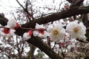 ดอกพลัม หรือดอกอุเมะ (Ume) สีขาว