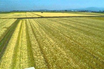 Soaring over Barley Fields in Fukui