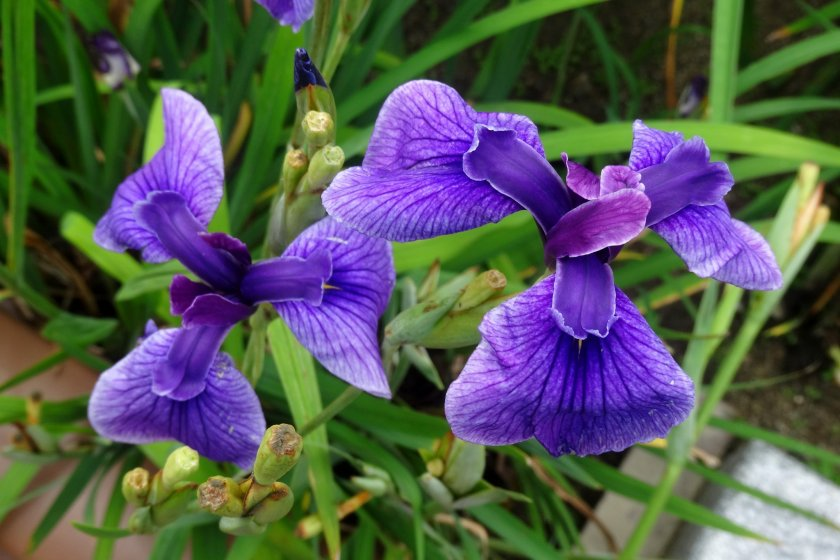 Tamana's famous irises bloom from late May to early June in the Takaseura River