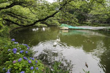<p>The lake in the middle of Kanuma Park is home to these swans and ducks, and of course many fauna found growing along and in the lake.</p>