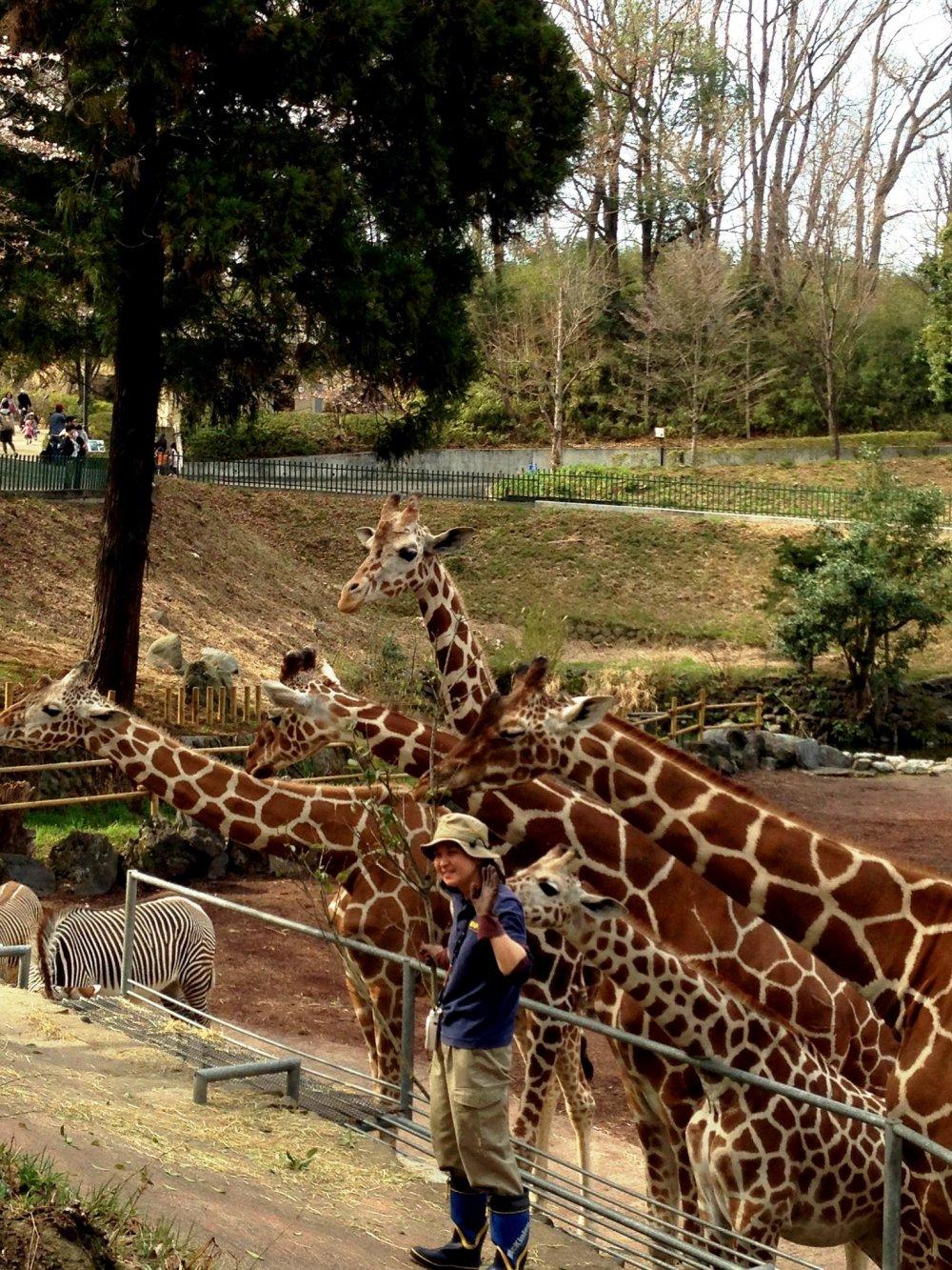 Время кормления жирафов