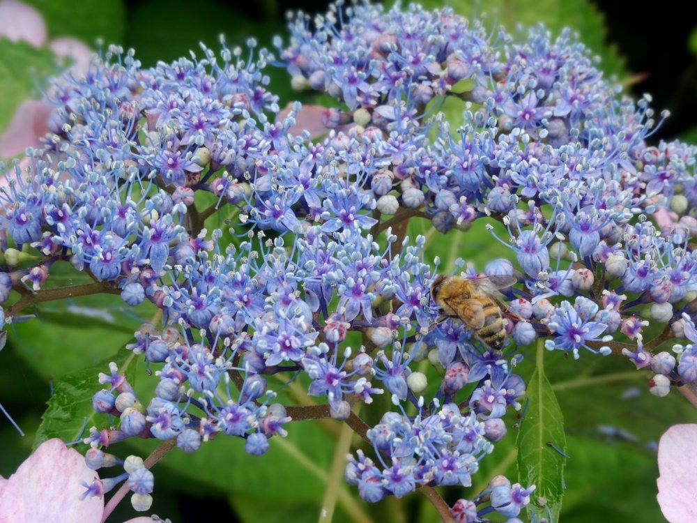 꿀벌이 꽃에서 꽃을 피우다