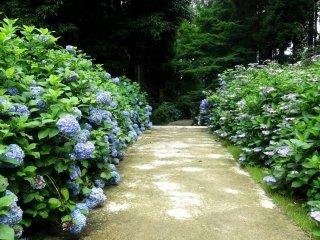 수국의 길은 실제로 구마모토 현립 장식 화분 박물관