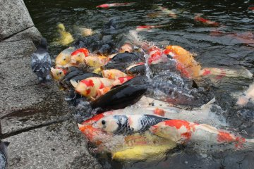 <p>I didn&#39;t know there were so many different colors of koi, amazing to see</p>