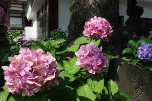 境内では紫陽花が見頃を迎えている