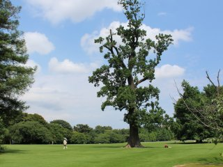A tall majestic tree, sitting on luscious green grass under a beautiful blue sky