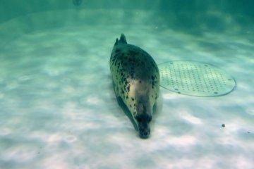 <p>Леопардовый тюлень на полу резервуара</p>