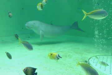 <p>Дюгонь, окруженный цветными рыбками</p>