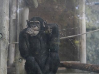 One of three chimpanzee's that live at the zoo, he's the young naughty one.