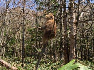 上高地树林里经常可以看见不怕生的猴子