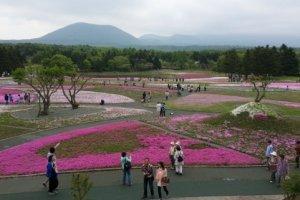 Hamparan bunga pink Fujishibazakura yang nampak sebagian sudah berguguran.