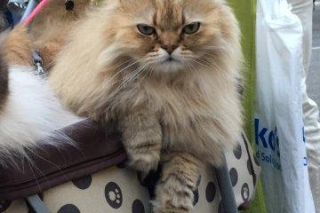 นายแมวในโอะโมะเตะซานโดะ