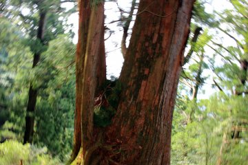 <p>Another large deity cedar tree</p>