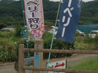 Với một khoảng phí, du khách có thể tự do chọn lựa và thưởng thức việt quất ở vườn việt quất Kato ngay tại Kinchakuda.