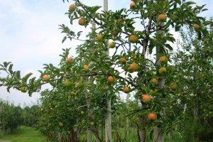 Some fresh apples