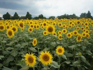 Selamat datang di Zama Himawari Matsuri! Ada lebih dari 550.000 bunga matahari di festival ini.