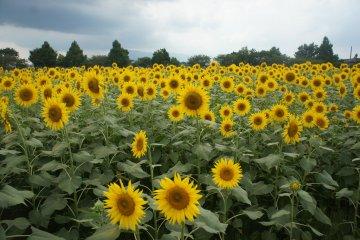 Zama dan Festival Bunga Matahari