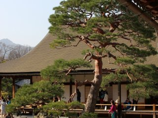 A Japanese pine sits in the temple gardens