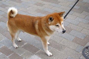 <p>&quot;เจ้าตูบ หนูเป็นหมาอาคิตะด้วยหรือเปล่าครับ?&quot; ...&quot;หนูเองก็ไม่แน่ใจ แต่หนูคิดว่าหนูเป็นหมาจิบะ ไม่ก็ลูกผสมน่ะครับ&quot;</p>