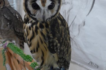 <p>The owls can be untethered&nbsp;to perch on your hand on shoulder.&nbsp;</p>