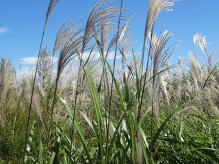 Pampas grass is a sure sign of autumn in rural Japan