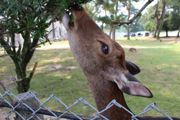 Deer Antler-Cutting at Nara