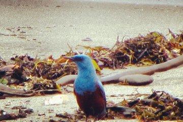 Blue Rock Thrush searching through the seaweed
