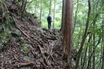 <p>Sometimes the trail required scambling over tree roots</p>