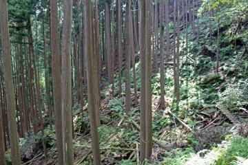 <p>Ferns and dappled light in the cedar plantation</p>