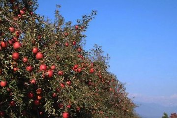 사과 과수원