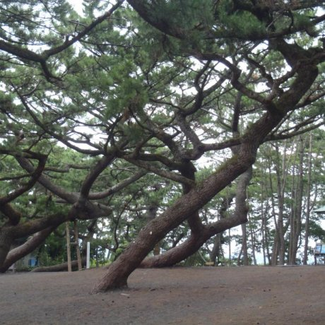 Miho no Matsubara's Gnarly Trees