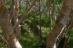 Beautiful birch forest