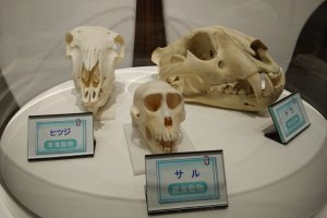 Skulls from other mammals for comparison