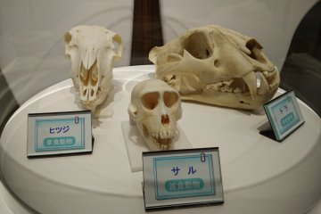 <p>Skulls from other mammals for comparison</p>