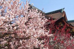ศาลเจ้าคิทะโนะ เท็นมันกุมีต้นพลัมอยู่กว่า 2,000 ต้น และมีพลัมที่หลากหลายกว่า 200 สายพันธุ์