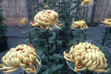 <p>Gold Chrysanthemums</p>