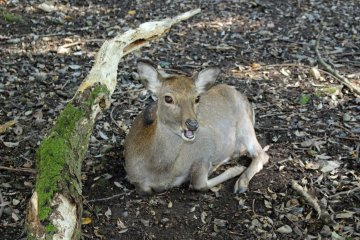 <p>The deer of Nara Park were present until we got past the grounds of Kasuga Shrine. They were calm enough to allow for numerous photos</p>