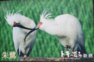 Japanese Crested Ibis-often seen in Sado Island adverts (like this one) but rarely seen in nature anymore