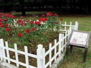 """Розы Nadia, или просто """"Надя"""""""