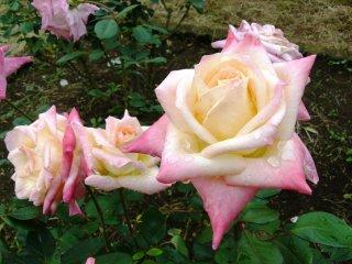 """Американские розы """"Принцесса Диана"""""""
