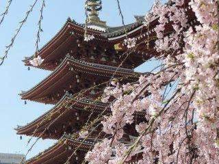 La Pagode à 5 étages et les cerisiers en fleurs