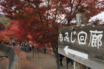 เส้นทางเดินชมเมเปิ้ลที่คะวะงุชิ-โกะ
