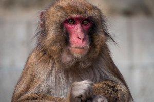 Un singe au Monkey Center d'Awaji