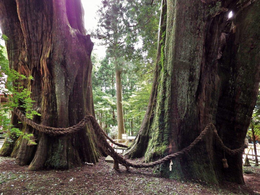 Minami Osugi (South Giant Cedar) & Kita Osugi (North Giant Cedar)